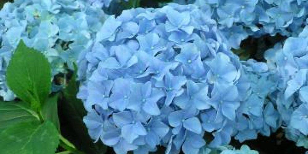Gartenträume - Rosen und Hortensien